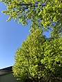 2020-05-10 18 39 16 Red Maple and Pin Oak leafing out along Glen Taylor Lane in the Chantilly Highlands section of Oak Hill, Fairfax County, Virginia.jpg
