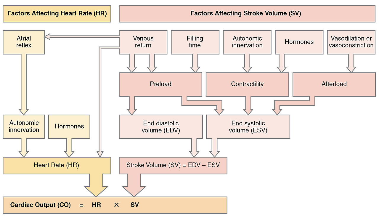 Heart Blood Flow Chart: 2036 Summary of Factors in Cardiac Output.jpg - Wikimedia Commons,Chart