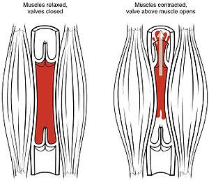 Skeletal-muscle pump - The skeletal-muscle pump