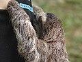 3 toed sloth.jpg