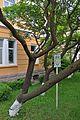 46-106-5012 Drohobych Sumac Tree RB.jpg