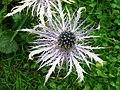 4724 - Mürren - Eryngium alpinum.JPG