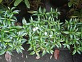 9639Ornamental plants in the Philippines 09.jpg