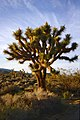 A026, Joshua Tree National Park, California, USA, 1998.jpg