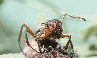 Mravec hôrny