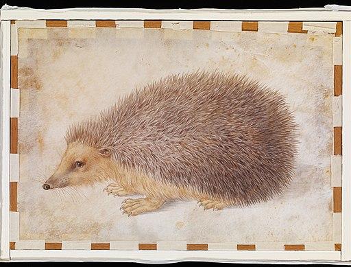 A Hedgehog (Erinaceus roumanicus) MET DP123780