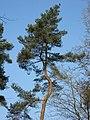 A Kinky Tree - geograph.org.uk - 1237187.jpg