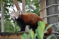 A Red Panda at the Wildlife Park. - geograph.org.uk - 1421256.jpg