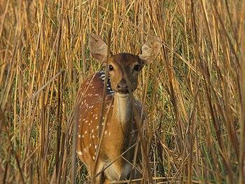 A Staring Deer.jpg
