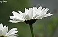 A White Flower.JPG