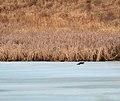 A mink on the ice (16843536282).jpg