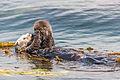 A newborn baby Sea Otter, Enhydra lutris, Morro Bay.jpg