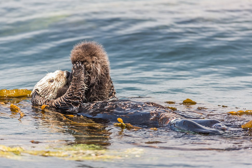 A newborn baby Sea Otter, Enhydra lutris, Morro Bay