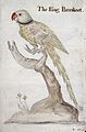 A ring-necked parakeet. Watercolour by J.C. Lettsom, 1757. Wellcome L0023719.jpg
