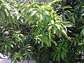 A view of Mango tree.jpg