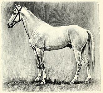 Ethiopian horses - Ethiopian gelding brought to Europe circa 1900 by Henri, Prince d'Orléans; from C.G. Wrangel: Die Rassen des Pferdes, 1909