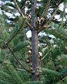 Abies balsamea (Balsam Fir) (31874295531).jpg