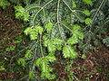 Abies holophylla foliage.JPG