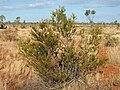 Acacia dictyophleba habit.jpg
