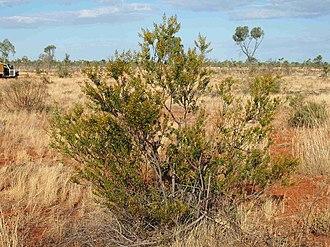 Acacia dictyophleba - Image: Acacia dictyophleba habit