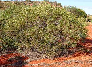 <i>Acacia ligulata</i> species of plant