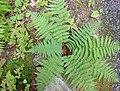 Acadia National Park, marginal wood fern (Dryopteris marginalis).jpg