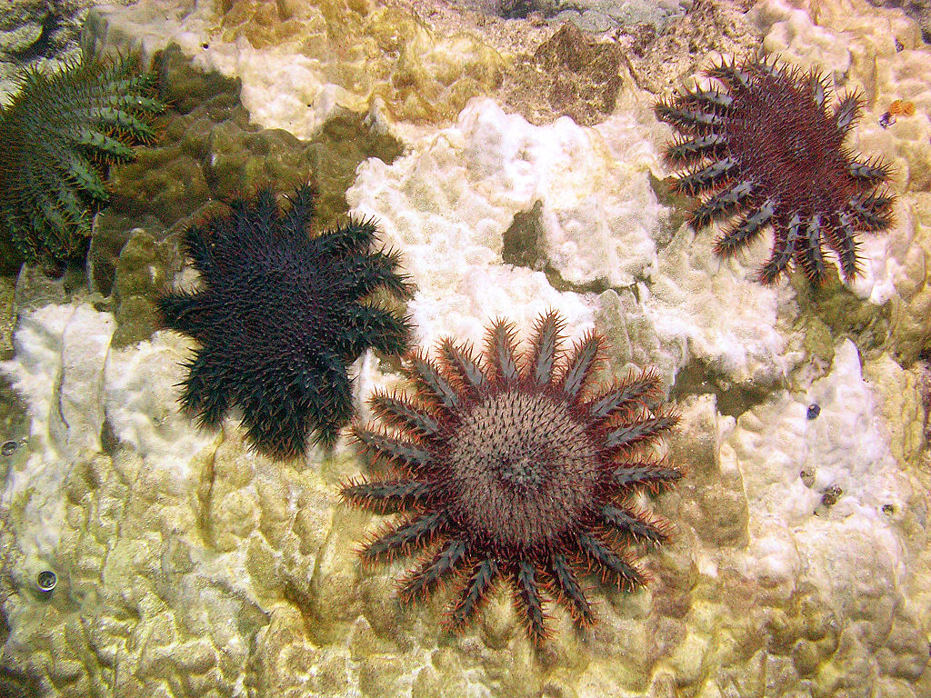 Acanthaster planci, étoiles mangeuses de corail