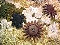 Acanthaster planci, étoiles mangeuses de corail.jpeg