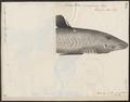Acanthias vulgaris - 1700-1880 - Print - Iconographia Zoologica - Special Collections University of Amsterdam - UBA01 IZ14100143.tif