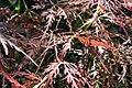 Acer palmatum Viridis 1zz.jpg