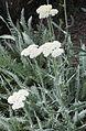 Achillea clypeolata Sibth et Goldquirigarbe (Asteraceae)-1F.jpg