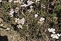 Achillea millefolium-4350.jpg