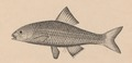 Achilognathus melanogaster - 1856-1859 - Print - Iconographia Zoologica - Special Collections University of Amsterdam - UBA01 IZ15000112 (cropped).tif