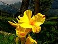 Achira (Canna indica) (14176882329).jpg