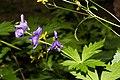 Aconitum columbianum 6017.JPG