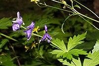 Aconitum columbianum 6017