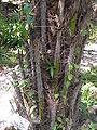 Acrocomia mexicana1.jpg