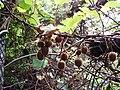 Actinidia deliciosa deliciosa (A.Chev.) C.F.Liang and A.R.Ferguson (AM AK286506-3).jpg