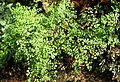 Adiantum capillus veneris kz1.JPG