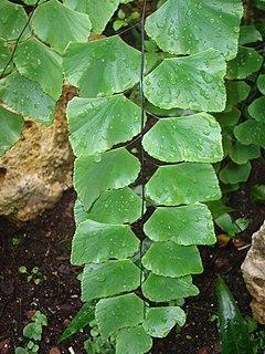 <i>Adiantum peruvianum</i> species of plant
