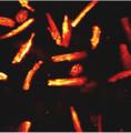 Adult cardiac myocyte 2.png