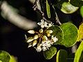 Aegiceras corniculatum flowers Nudgee Creek Nudgee Beach Bramble Bay Queensland P1040504.jpg