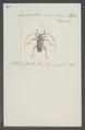 Aegomorphus - Print - Iconographia Zoologica - Special Collections University of Amsterdam - UBAINV0274 034 23 0019.tif