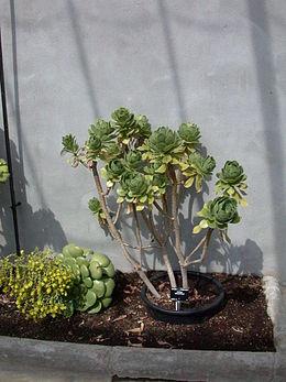 Aeonium balsamiferum 20070810-1351-198