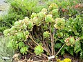 Aeonium gomerense - University of California Botanical Garden - DSC08923.JPG