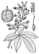 Aesculus glabra drawing.png