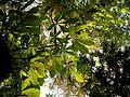 Aesculus hippocastanum (6).JPG