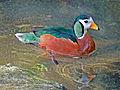 African Pygmy Goose RWD.jpg