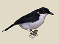 African Shrike-flycatcher specimen RWD.jpg