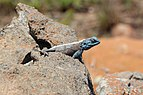 Agama in Blyde River Canyon 02.jpg